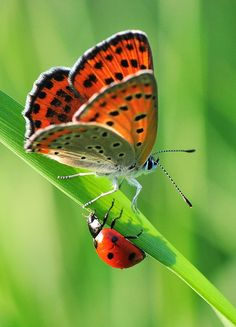 ~ butterfly meets lady bug by Yilmaz Uslu~~