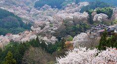 Cherry Blossoms 2013 Forecast