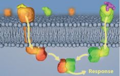 The Inside Story of Cell Communication Signals Travel Into Cells | Learn.Genetics Image: Two pathways