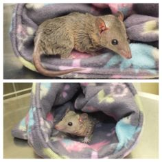 """Our Avian & Exotics department has got some seriously cute patients! This is Blue, a Brazilian short-tailed Opossum (or gray short-tailed opossum). These marsupials are native to South America (Brazil, Paraguay, Argentina), and are called """"short-tailed"""" because their tails are shorter than their bodies. These guys have very specific nutritional and housing needs, and while they are adorable, they are definitely not beginner pets!"""