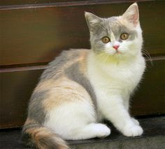 Tortoise Shell Calico Cat | blue-calico-cat.jpg