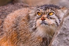 Female Pallas cat on the rocks