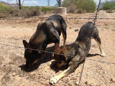 """Owner """"dumped"""" her """"2"""" pet dogs in the desert of Arizona, because """"she was moving to Minnesota and didn't know what to do with them"""" If not for a microchip on one of the dogs, the owner may never have been found.The owner was arrested & charged with 2 counts of animal cruelty. """"It's cruel & inhumane to leave your animals outside to fend for themselves without food & water:......"""