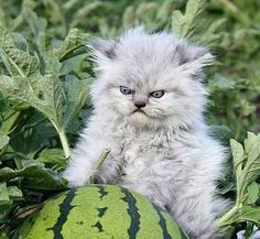And this kitten who just really friggin' hates watermelons.