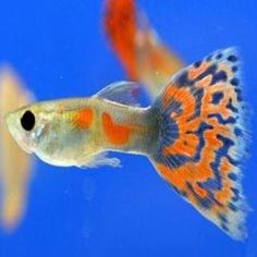 this is a guppy fiish soooooo.......  great if you would want someone to call you that  *cough*cough Emilly