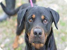 3/1/17 URGENT! Fort Lauderdale, FL - Rottweiler. Meet ROK, a dog for adoption. Broward County Animal Care & Adoption Pet ID #: 11057075-A1647181 Phone: (954) 359-1313  http://www.adoptapet.com/pet/17538764-fort-lauderdale-florida-rottweiler