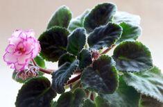 Zmlazování afrických fialek krok za krokem | Zahrádkář Plants, Flora, Plant, Planting
