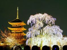 illuminated five-storey Pagoda and cherry tree