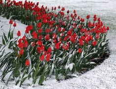 Snow Tulips~ Is it Spring yet? Christmas Fairy, Winter Christmas, Daffodils, Pansies, Beautiful Gardens, Beautiful Flowers, Spring Bulbs, All Nature, Spring Sign