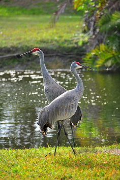 Sandhill Cranes. They mate for life.  Very common to see these walking around in my neck of the woods
