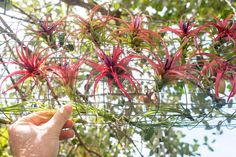 We built an air plant cage for our tillies out of wire mesh and positioned them under the canopy of a tree.
