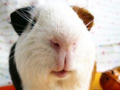 I love guinea pig's lips...
