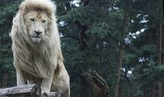 Travel News, Guides, Photos and Videos Amazing Animal Pictures, Lion Love, Tasmania, Spirit Animal, Big Cats, Habitats, Cat Lovers, Creatures, Photo And Video