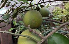 Bán bưởi Diễn ngon chính hiệu làng diễn mua tại vườn - lien hệ 0989341023