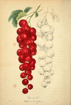 currants or gooseberries