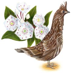 Pennsylvania State bird-Ruffed Grouse State Flower-Mountain Laurel