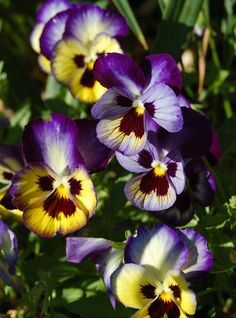 """The Pansy is called the """"Trinity Flower"""",  because its three-petaled shape, like the Irish shamrock, represents the the Trinity, first revealed to Mary."""