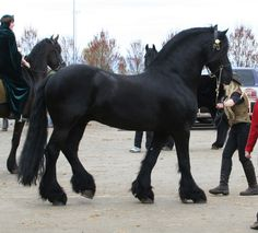Black Frisian.....beautiful!! This is truly my dream horse!!