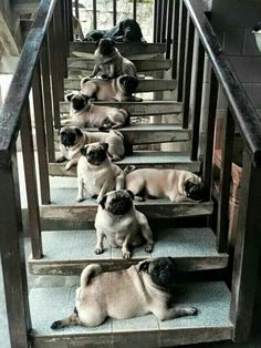 Pugs! Enjoy RushWorld boards, BARK RUFFINGTON'S DOG KINGDOM, SPELLBINDER ART EXHIBIT BY KIERNAN and EYE CANDY ARCHITECTURAL MASTERPIECES. Follow RUSHWORLD on Pinterest! New content daily, always something you'll love!