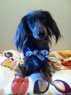 Skunk Dog reppin our team, Indianapolis Colts dapple dachshund