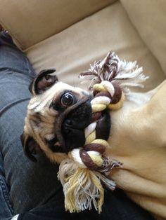 Mr. Pug says: Play wif me?