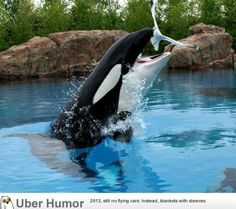 When killer whales aren't fed properly at Marineland