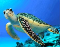 Sea Turtles are my favorite