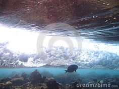 The surgeonfish and the heavy wave.
