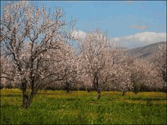 Almendros en flor de Sidi Amjoune Rislane Marruecos ©bagonja