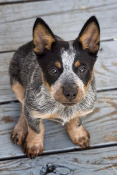Cute Dogs, No Filler : Aussie Cattle Dog. Cute Puppies, Cute Dogs, Dogs And Puppies, Doggies, Austrailian Cattle Dog, Baby Animals, Cute Animals, Farm Dogs, Belle Photo
