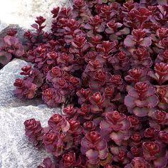 Heirloom 50 Sedum graines - Voodoo - vivace couvre-sol, Heirloom Sedum graines, graines de Voodoo, Voodoo orpin, Sedum rouge Heirloom Seeds - Non-OGM
