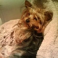 Lost Dog Yorkshire Terrier in MIAMI, FL - Lost My Doggie-- please share far and wide. $500 Reward. She needs meds.