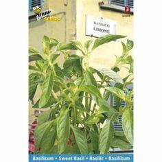 Basilicum Limone (zaad, zoete basilicum)