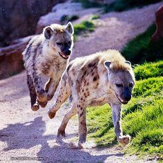 Hienas a la carrera (Hyenas At the race) by Juan Carlos Simón, via 500px