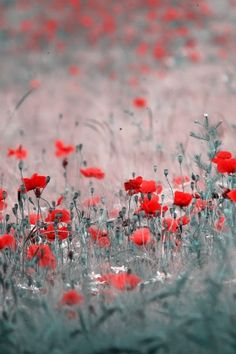 Dream on Dreamer Flower Poetry, Landscape Photography, Art Photography, Dream On Dreamer, Flanders Field, Butterfly Effect, Red Poppies, Red And Grey, The Dreamers
