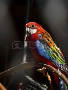 Colorful red parrot with curved beak on a black background