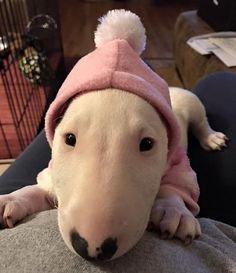 Warming up  posted by Beverly Krautler via Facebook #bullterrierpics #bullterrier #ebt #bullie #bullterrierinstagram #bullterrierlove #bullterrierstyle #englishbullterrier #dogs #bullterriersofinstagram #bullterriers #dog #bullterrierlife #bullterrierworld #puppy #bullterrierpuppy #englishbull #perro #englishbullterrierpuppy #ebtpuppy #ilovebullterriers #ilovedogs #doglife #dogstagram #dogsofinstagram #doglovers