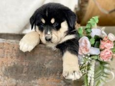 Copper - Bernese Mountain Dog Mix Puppy for Sale in Blairsville, PA | Lancaster Puppies Bernese Mountain Dog Mix, Mountain Dogs, Lancaster Puppies, Dog Mixes, Puppies For Sale, Animals, Animales, Animaux, Animal