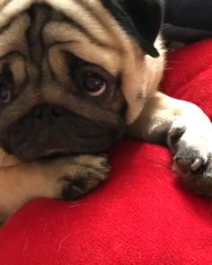 I just wanna snuggle it sooo hard - Pug Puppies Cute Funny Animals, Cute Baby Animals, Funny Dogs, Funny Pug Videos, Cute Animal Videos, Funny Animal Pictures, High Pictures, Pug Gifs, Baby Pugs