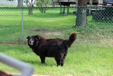 3 /10   ***SENIOR*** Petango.com – Meet Jake, a 7 years 5 months Chow Chow / Mix available for adoption in BLOOMINGDALE, IL