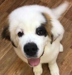 Here's a list of common foods and ingredients to look out for, in order to protect your St. Bernard's health! St Bernard Dogs, Salty Snacks, Cute Cats And Dogs, Puppy Love, Dog Food Recipes, St Bernards, Dog Cat, Corgi, Cute Animals
