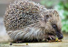 Egels voeren en helpen om zorgeloos te overwinteren met egelvoer en egelkast om in te slapen Animals And Pets, Hedgehogs, Gardening, Cats, Winter, Humorous Animals, Adorable Animals, Hedgehog, Animales