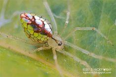 Rare mirrored spider caught on camera