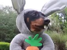 """Crusoe the celebrity dachshund — """"The bunny wiener has been spotted! Dachshund Puppies, Pet Dogs, Chucky Lozano, Baby Animals, Funny Animals, Dog Vines, Crusoe The Celebrity Dachshund, Funny Bunnies, White Cats"""