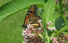 Adult monarch butterfly on common milkweed © Beatriz Moisset