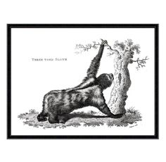 Three Toed Sloth Reproduction Antique Zoological Print. Giclée printed onto 300 gsm textured Cotton Rag museum quality paper using light fast, archival quality pigment inks (frame not included).