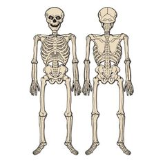 Beistle Jointed Skeleton 4Feet 3Inch * Visit the image link more details.