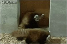 red panda glomp attack! <3