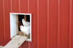 6 Strategies for Fly Control in the Chicken Coop
