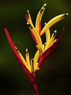 Heliconia..these are great in borders. + Exotic + Tropical + Florida Landscape